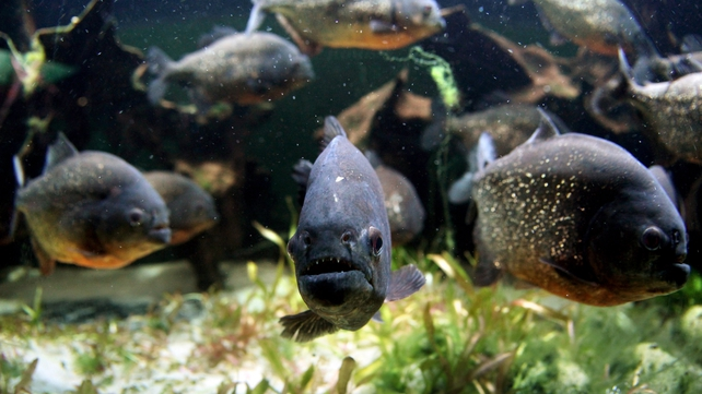 Piranhas are carnivorous and are native to the Amazon basin