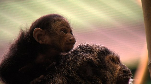 There is a new baby saki at the zoo