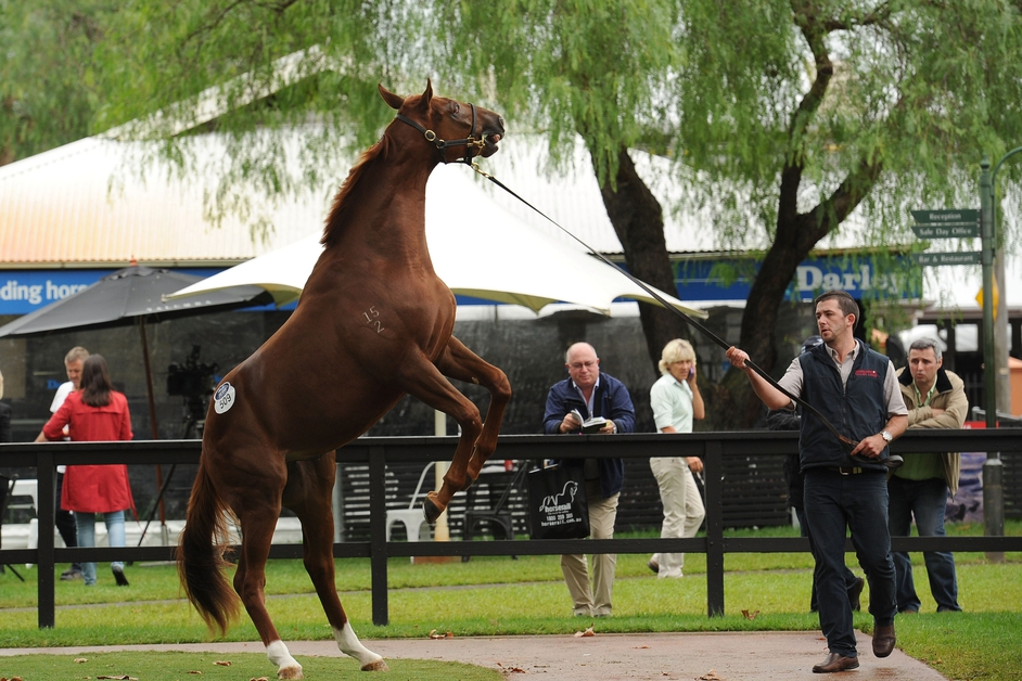 A yearling rears up in the parade ring at a sale at Royal Randwick Racecourse in Australia