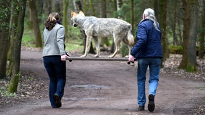 Employees of a wild park carry a stuffed wolf, killed in a car accident, to the opening of the new wolf exhibition in Eekholt zoo, Germany