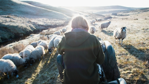 Farmer Amanda Owen feeds sheep on the Yorkshire moors