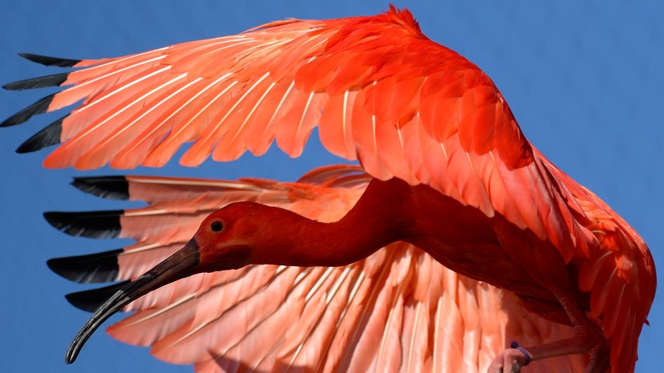 A scarlet ibis in mid-flight at Zurich Zoo in Switzerland (Pic: EPA)