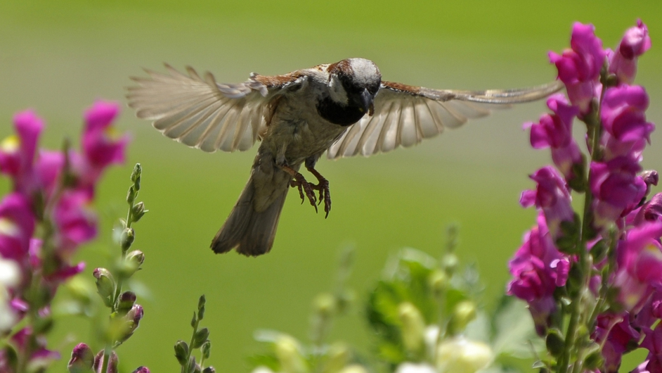 A house sparrow searches for food among flowering plants in Kathmandu, Nepal
