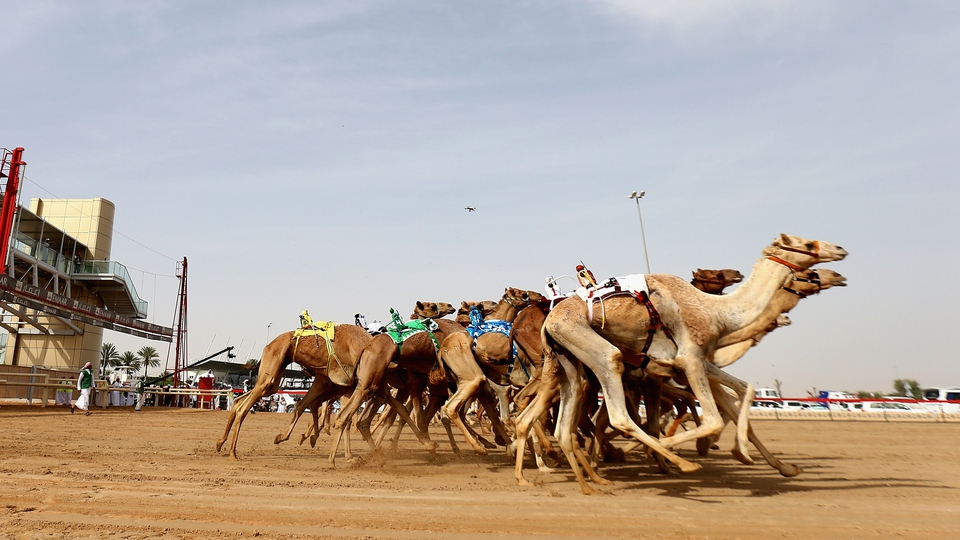 Camels race during Heritage Festival at the Al Marmoom Camel Racetrack in Dubai