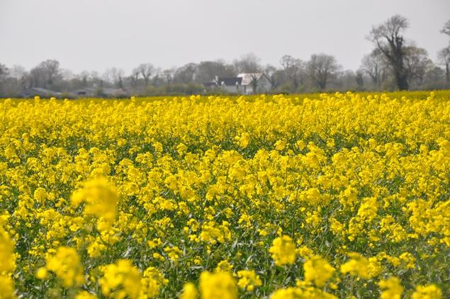 A field of rape seed in Kildare