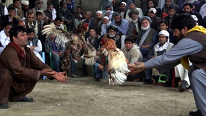 Cocks battle it out as dozens of Afghani men attend the weekly cock fights in Kabul