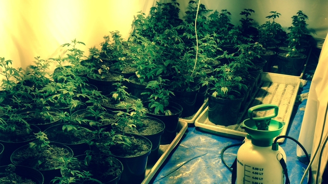Gardaí discovered cannabis plants and two firearms during a search of a house in the Mountbellew area