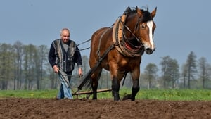 Farmer Karl Markus ploughs a field with the help of his horse 'Grete' in The Spreewald, Germany (Pic: EPA)