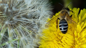 A bee sits on a dandelion flower directly next to a dandelion blowball in a meadow in Dresden, Germany