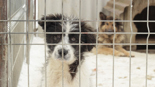 Ten dogs a day and over 3,500 dogs a year are still being put down in Irish pounds