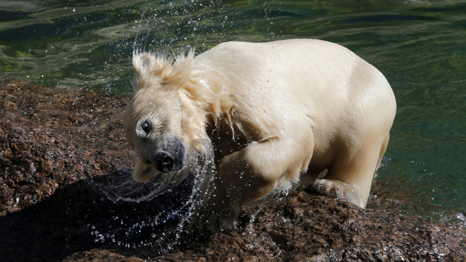 A polar bear cub attempts to dry off after taking a dip in St Petersburg Zoo (Pic: EPA)