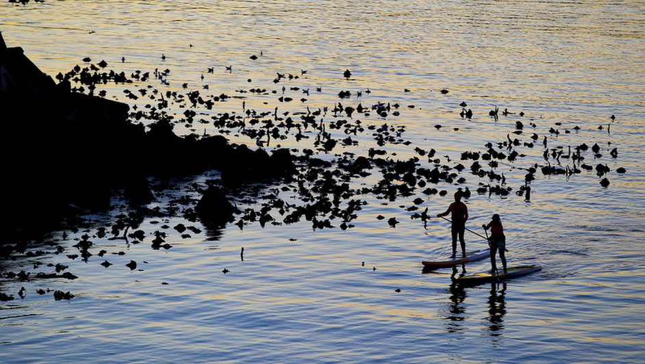 Paddlers passing kelp in Table Bay at sunset, Cape Town, South Africa.