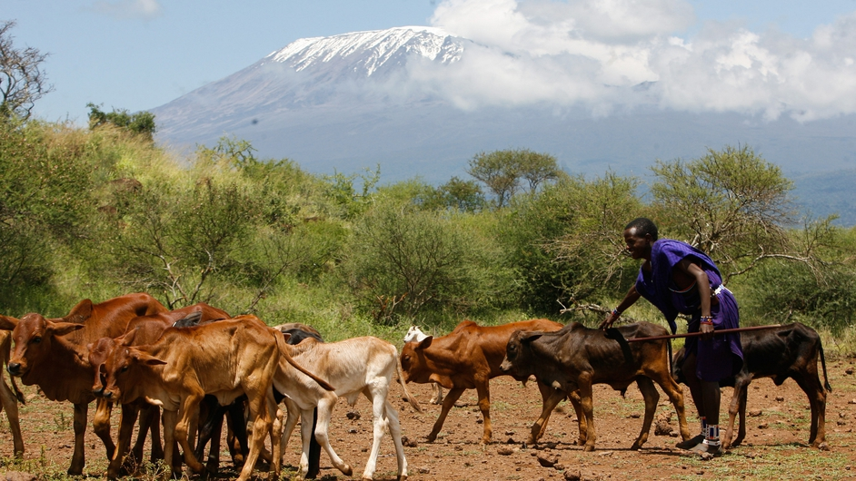 A Maasai man looks after calves as they graze at the foot of Mt Kilimanjaro
