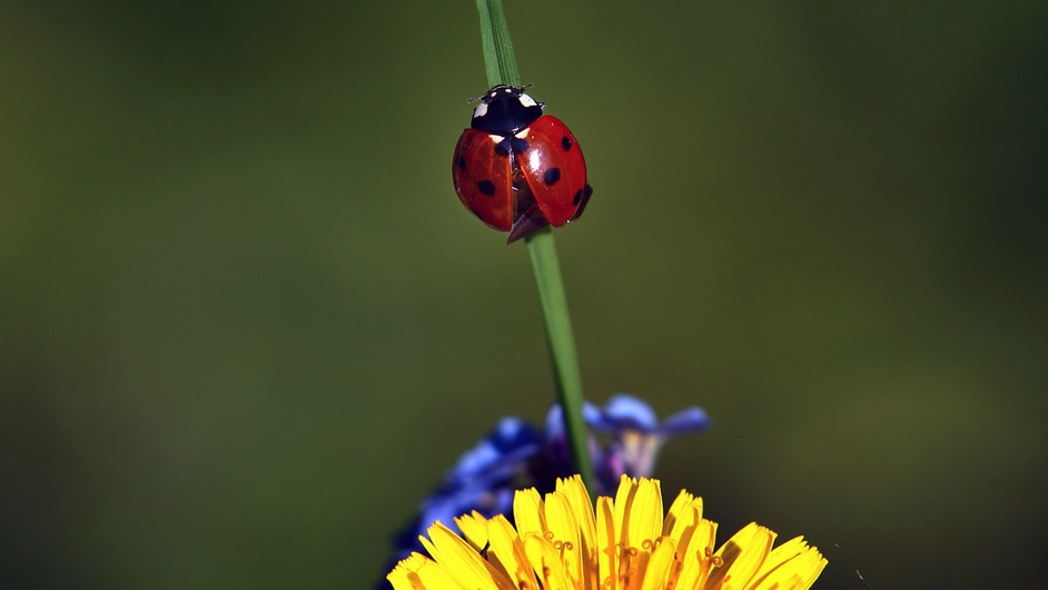 A ladybird sits on a blade of grass of a blooming flower in Kempten, Bavaria, Germany