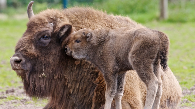Six European bison are being reintroduced to Romania