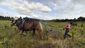 A woman works with a plough pulled by a horse in a vineyard in France