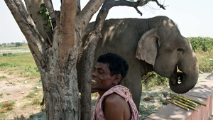 A mahut and his elephant take shade under a tree in India during a heatwave