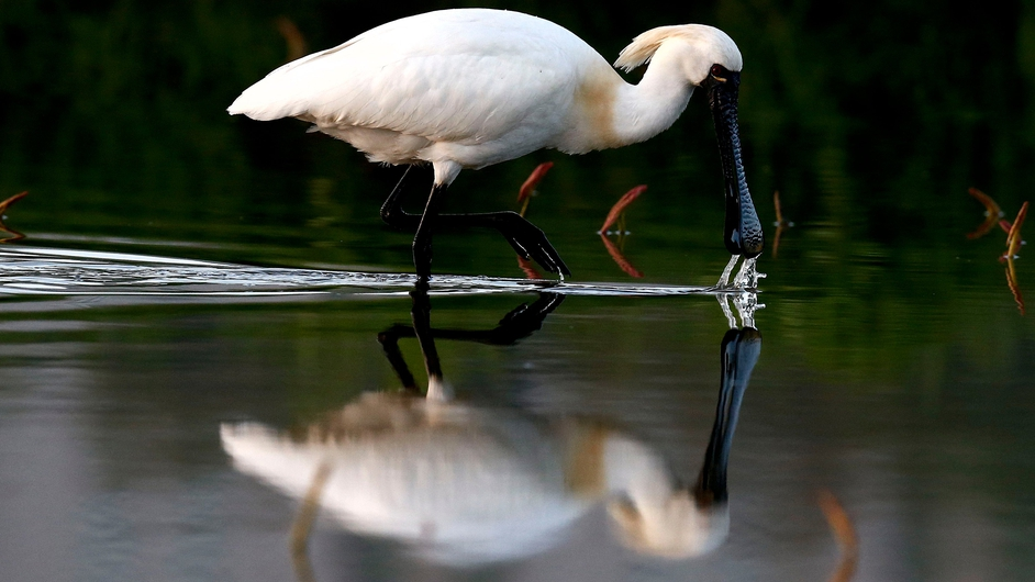 A Blackfaced Spoonbill admires its reflection on Gwangokji-pond in Siheung in South Korea (Pic: EPA)