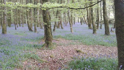 Bluebells , Derreen Wood, Knockvicar, Co Roscommon