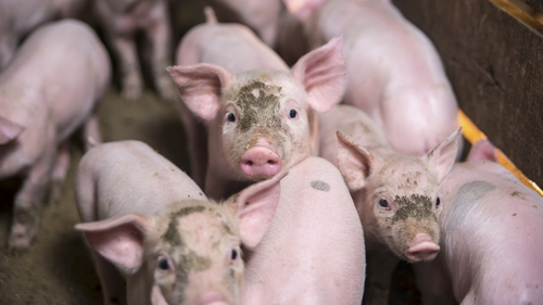 PEDv has killed around seven million piglets in the US