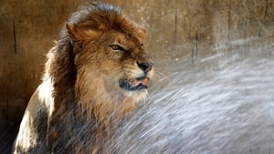 A lion is given a shower to cool down as temperatures rise at a zoological park in the Indian city of Jamshedpur