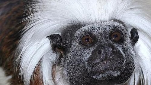 The cotton-top tamarin is considered one of the world's most endangered primates (Pic: Lancashire Police)