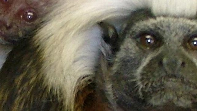 Details of the monkeys have been circulated to ports and airports in case the thieves try to take them abroad (Pic: Lancashire Police)