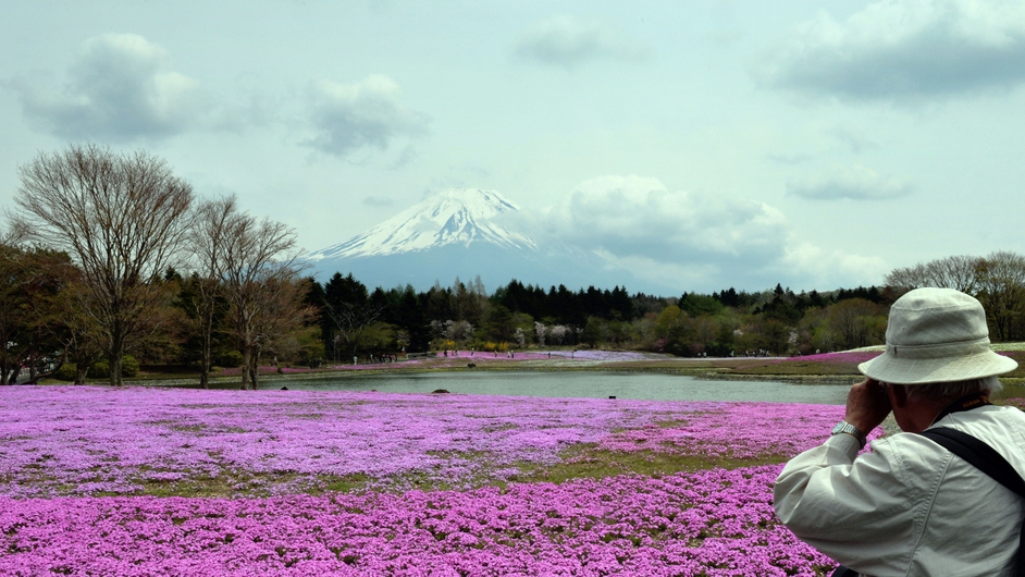 800,000 Shibazakura or Moss Phlox in full bloom during the Fuji Shibazakura Festival at the foot of Mount Fuji, Japan