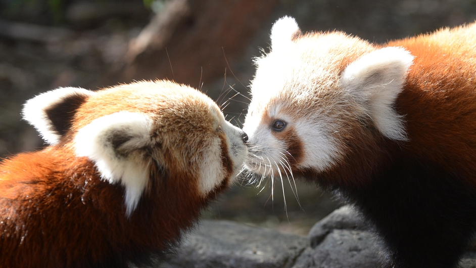 A red panda cub and its mother at the National Zoo and Aquarium in Canberra, Australia