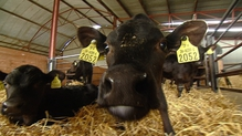 26,000 Irish farmers are engaged in cattle rearing