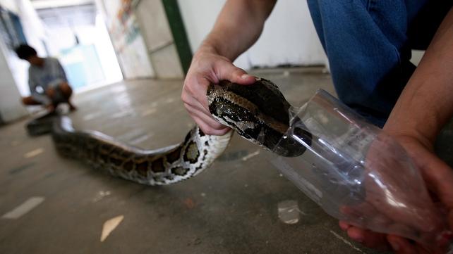 A five-metre Burmese Python inside a local zoo in Manila