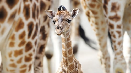 The calf made his first outside appearance in Dublin Zoo's African Savanna on Monday May 12 Photos: Patrick Bolger