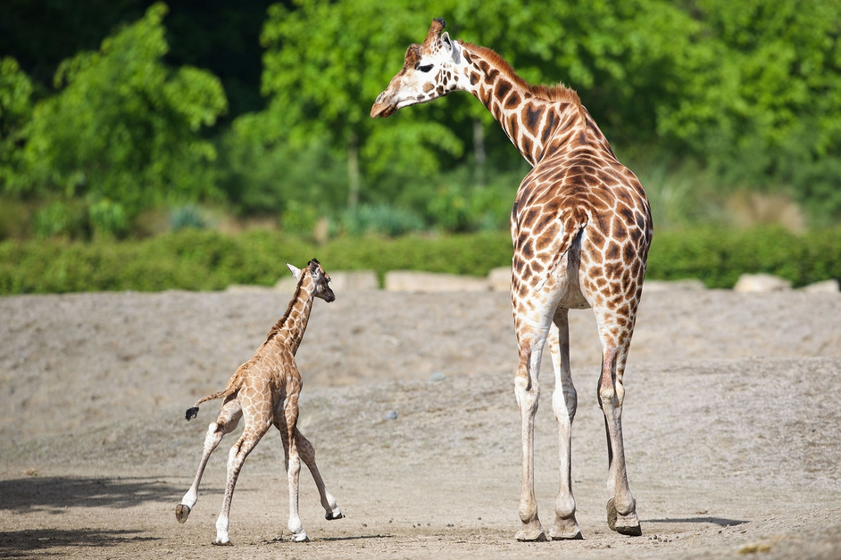 Parents Maeve and Robin and the team at Dublin Zoo have welcomed a baby male Rothschild giraffe.
