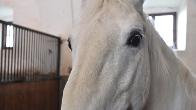 Up close and personal with a Lipizzaner horse, one of the world's most famous breeds