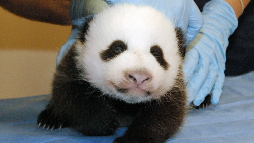 There are fewer than 2,000 giant pandas in the world