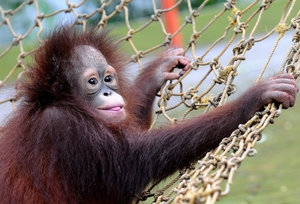 A three-year-old orphaned Bornean orangutan plays at Surabaya Zoo, Indonesia, as he prepares to be released into the wild