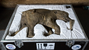 Lyuba, the world's most complete mammoth, is seen before going on public display at London's Natural History Museum