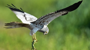 A Montagu's Harrier carries a lizard at a meadow near Mallnow, eastern Germany