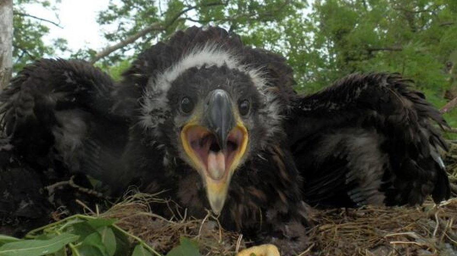 Eagle chicks have hatched in Glengarriff, west Cork and Mountshannon, Co Clare (Pic: Seán Mac an tSíthigh, ?@Buailtin)