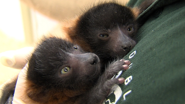 Two red ruff lemurs born on The Zoo