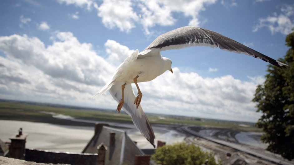 A seagull flies by the Mont Saint-Michel, north-western France