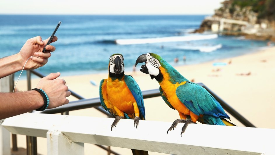 Tropical blue-and-gold Macaws are seen at Bronte Beach in Sydney, Australia