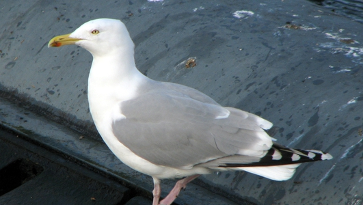 NestWatch 2014: Herring Gulls