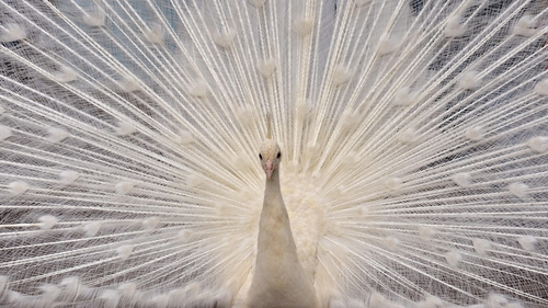 A white peacock opens its plumage at the Nogeyama zoo in Yokohama, suburban Tokyo
