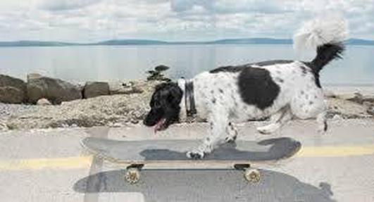 Darby - the skateboarding dog