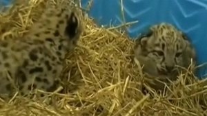 Newborn snow leopard cubs, one male and one female, at Akron Zoo, Ohio, US