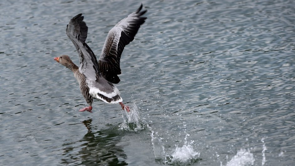 A graylag goose prepares to start its flight over a pond near Ueberlingen, southern Germany