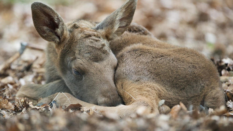 A baby elk, that was born a few days ago, takes a nap after exploring the surroundings of its enclosure at the zoo in Hanau, Germany