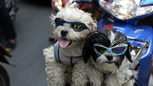 Pet dogs with sunglasses sit in the front basket of a motorcycle as people commute on a main road in Bangkok