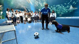 A sea lion shoots the ball into the goal during a new attraction at the Shinagawa Aqua Stadium aquarium in Tokyo, Japan